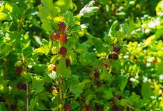 Gooseberry bush with ripe berries in the summer garden stock photo