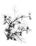 Gooseberry bush sketch Royalty Free Stock Photo
