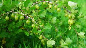 Gooseberry bush in summer stock footage