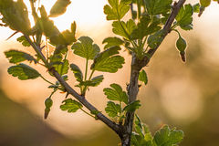 Gooseberry Bush at Sunset Royalty Free Stock Photography
