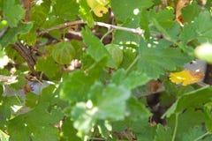 Gooseberry on bushes Stock Photos