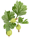 Gooseberry clip art Stock Images