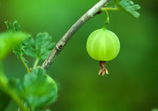 Gooseberry closeup Royalty Free Stock Photography