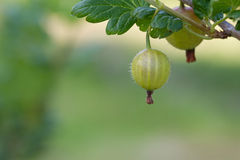 Gooseberry Crop Stock Photography