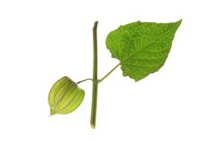 Gooseberry de cabo (peruviana do Physalis) Imagens de Stock