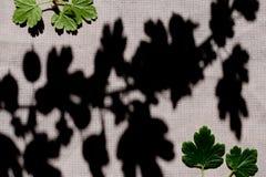 gooseberry fotos de archivo libres de regalías