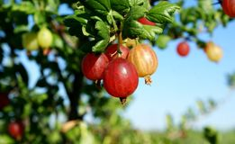 gooseberry El gusto amargo-dulce de esta baya da frescura imagen de archivo libre de regalías