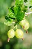 Gooseberry em uma filial Foto de Stock Royalty Free