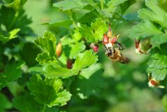 Gooseberry flower with bee pollinating it close up detail, soft green blurry leaves. Background royalty free stock photos