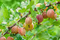 Gooseberry. Fresh and ripe  berries gooseberries on branch gowin Royalty Free Stock Image