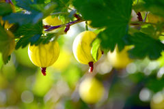 Gooseberry. Fresh and Ripe Organic Gooseberries Growing in summer royalty free stock images