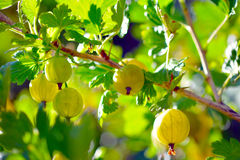 Gooseberry Stock Image