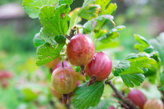 Gooseberry fully mature Stock Image