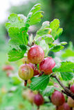 Gooseberry fully mature Royalty Free Stock Photography
