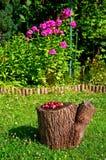Gooseberry in the garden Stock Images