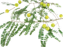 Gooseberry. Gooseberries and their leaves and twigs Stock Photography