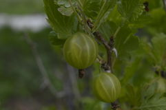Gooseberry. Green  bush, branch of gooseberries royalty free stock photography