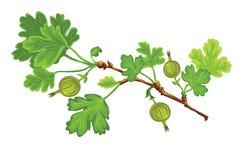 Gooseberry. Green gooseberry  on a white Royalty Free Stock Image