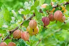gooseberry Grosellas espinosas frescas y maduras de las bayas en gowin de la rama imagen de archivo libre de regalías