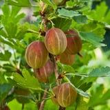 Gooseberry. Group gooseberry fruits on the bush Stock Photography