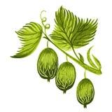 Gooseberry. Hand drawn, , illustration in Ukrainian folk style stock illustration