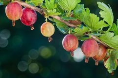 gooseberry Le bacche organiche fresche delle uva spina si sviluppano sul ramo fotografie stock