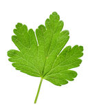 Gooseberry leaf closeup Royalty Free Stock Photos