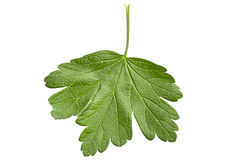 Gooseberry leaf closeup Stock Images