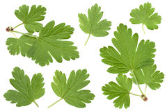 Gooseberry leaf collection on white Stock Photography