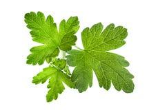 Gooseberry leaf Royalty Free Stock Photo