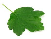Gooseberry leaf isolated on white background Stock Image