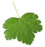 Gooseberry leaf Stock Image