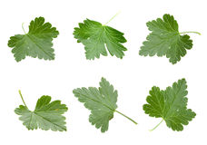 Gooseberry leaf set Royalty Free Stock Photos