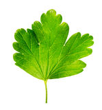 Gooseberry leaf on the white background Stock Photo