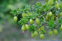 Gooseberry. Macro detail of gooseberry plant and fruit Royalty Free Stock Photo