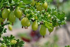 Gooseberry. Macro detail of gooseberry plant and fruit stock photography