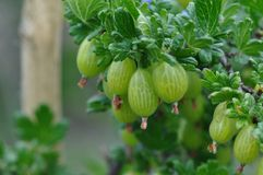 Gooseberry. Macro detail of gooseberry plant and fruit royalty free stock image