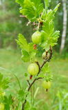 Gooseberry na filial Foto de Stock Royalty Free