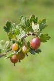 Gooseberry. Organic gooseberry on a bush. Shallow dof stock photography