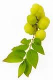 Gooseberry. Otaheite gooseberry, Malay gooseberry, Tahitian gooseberry, country gooseberry, star gooseberry, starberry, grosella , karamay fruit on white royalty free stock images