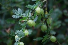 Gooseberry, Plant, Berry, Fruit stock image