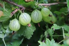 Gooseberry. Reject, European (Ribes uva-crispa Stock Photo