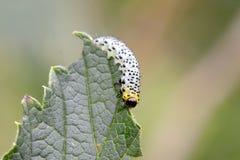Gooseberry sawfly catepillar Royalty Free Stock Image