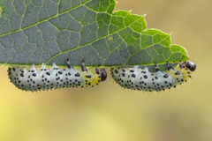 Free Gooseberry Sawfly Catepillars Stock Photography - 43398032