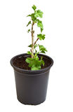 Gooseberry seedling Royalty Free Stock Photography