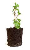 Gooseberry seedling Stock Photography