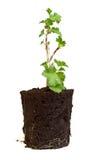 Gooseberry seedling Stock Photography