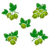 Gooseberry set. Vactor Stock Photos