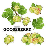 Gooseberry Set, Vector. Royalty Free Stock Image