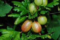 Gooseberry in summer Stock Photo